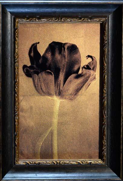 Black Tulip III