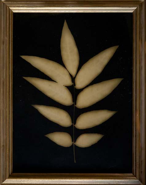 Arizona Ash Leaf