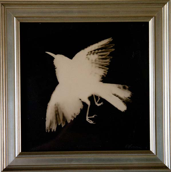 Cactus Wren, Wings Spread