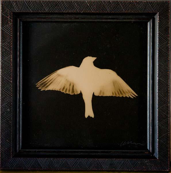 Lesser Goldfinch, Wings Spread