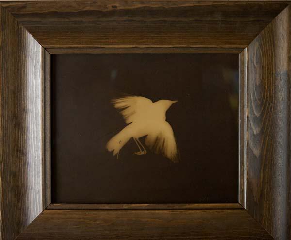 MacFGillivray's Warbler