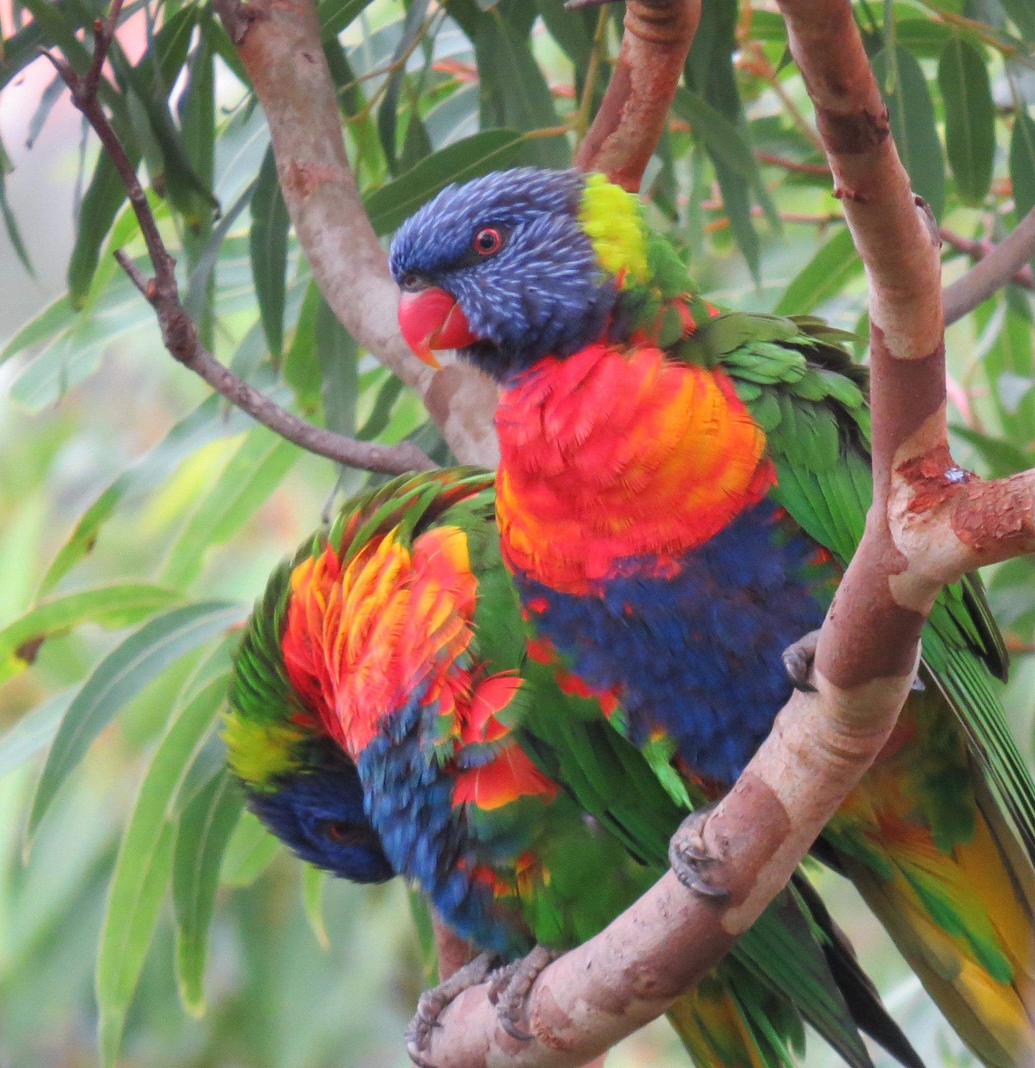 Lorikeets, Australia