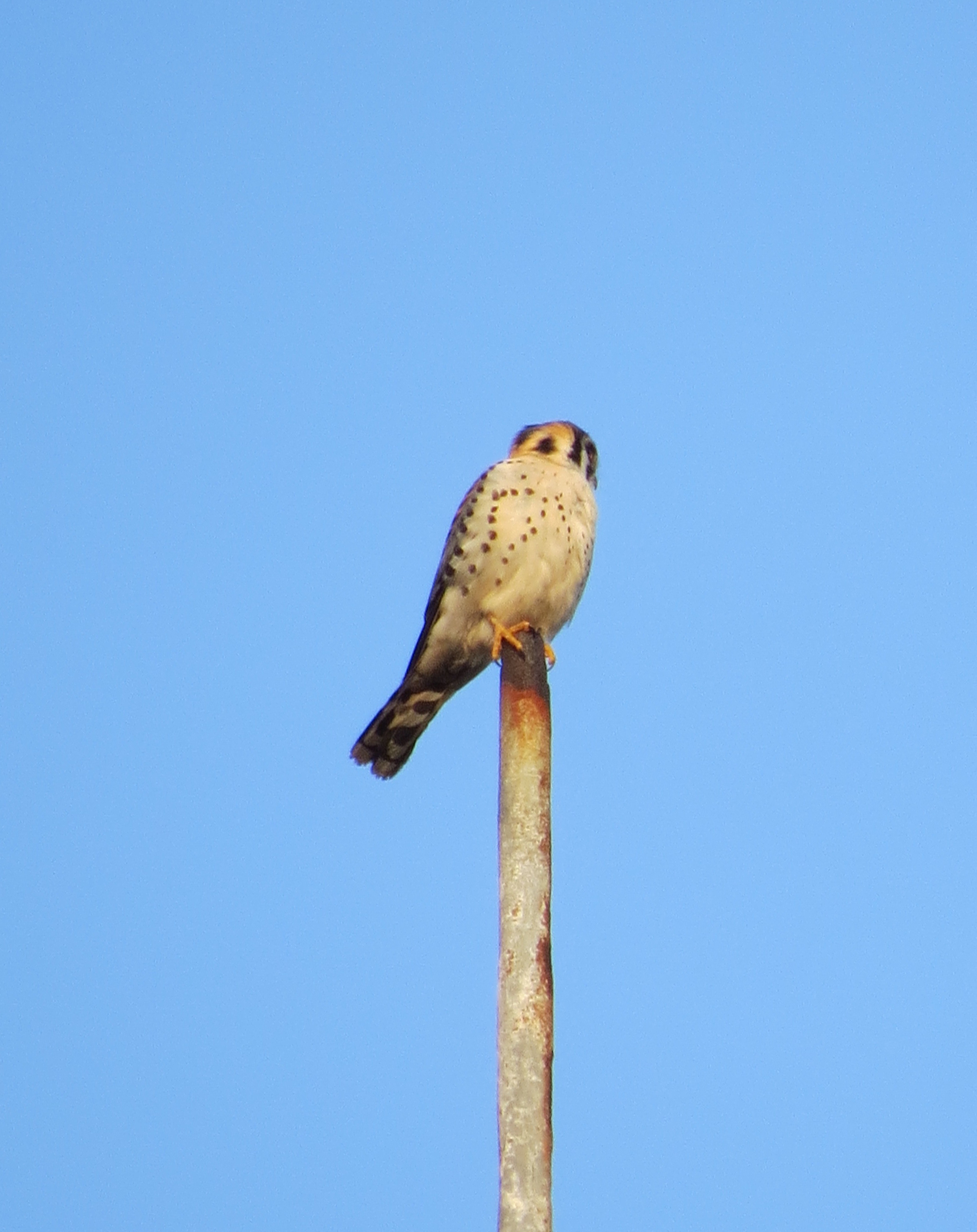 Owl on Church Steeple, Brooklyn, NY