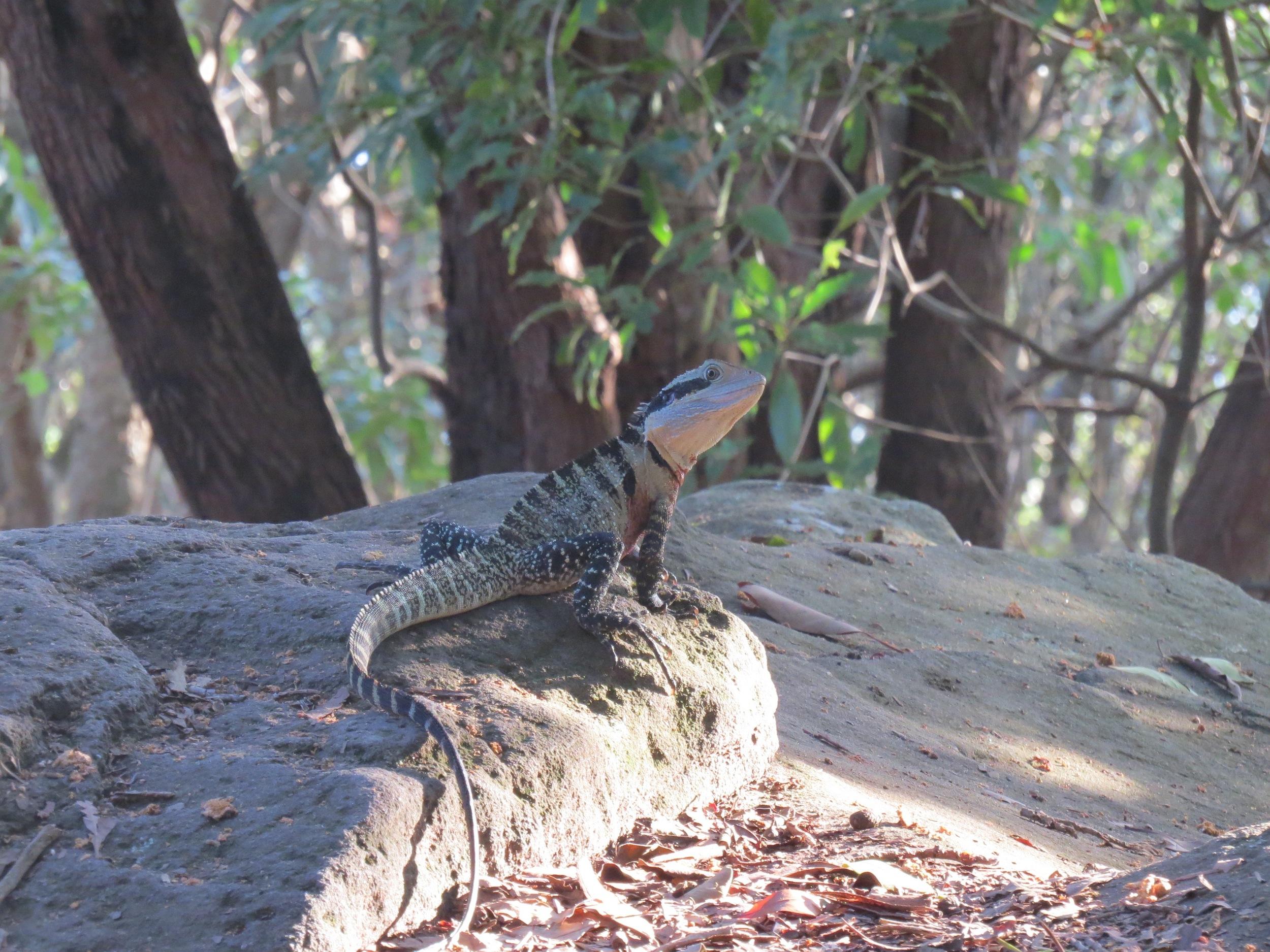 Bearded Dragon, Sirius Cove, Australia