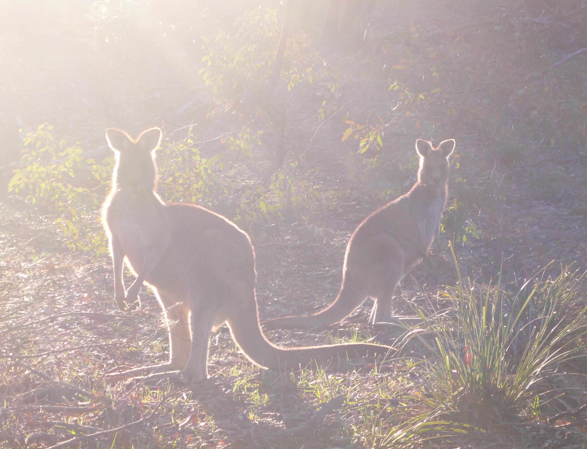 Kangaroos, Mt. Ainslie, Australia