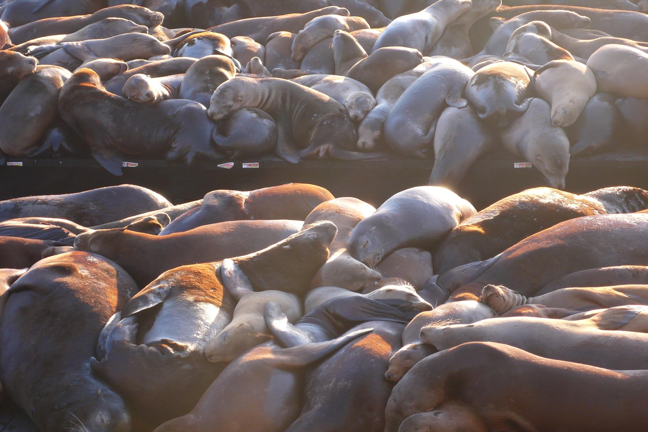 Seals, San Francisco, CA
