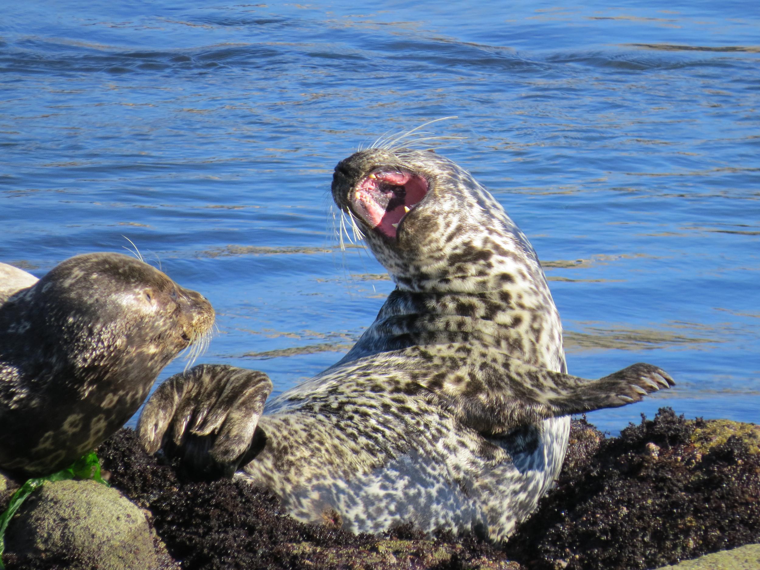 Seal, Monterey, CA