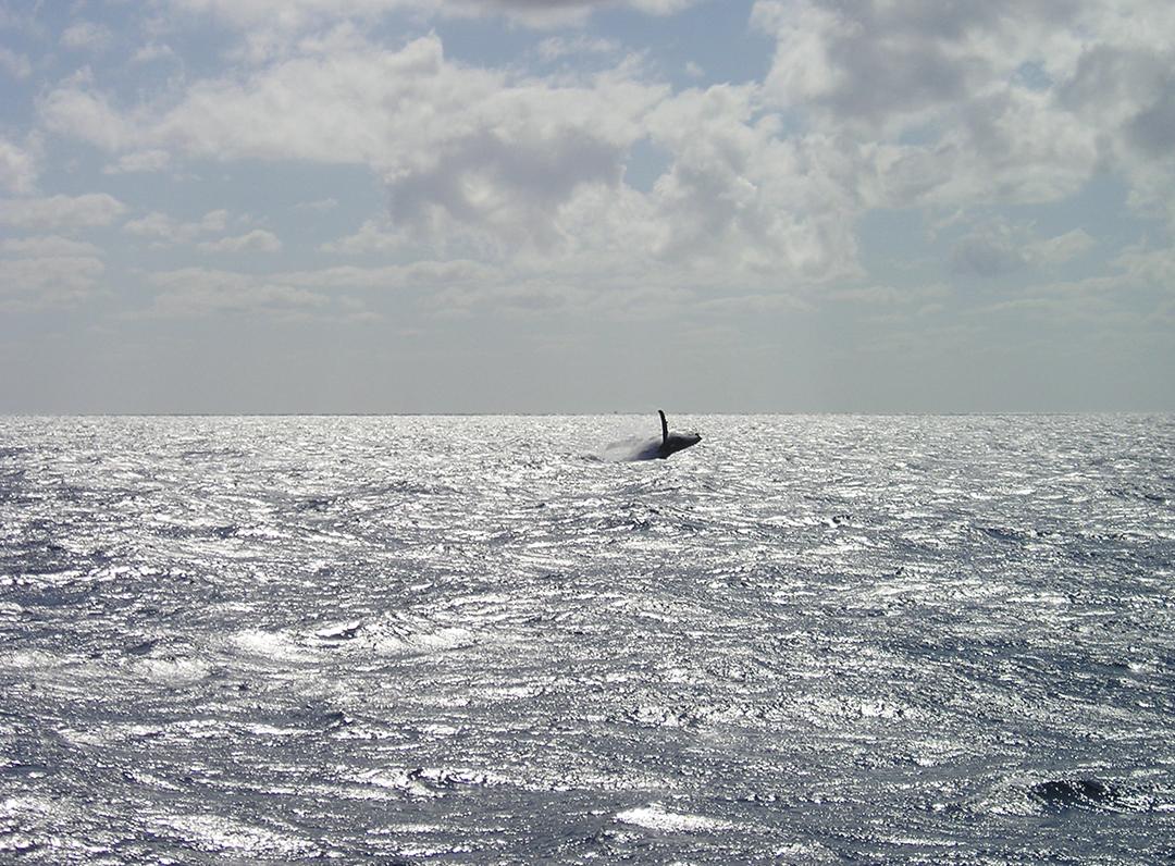 Whale, Great Barrier Reef, Australia