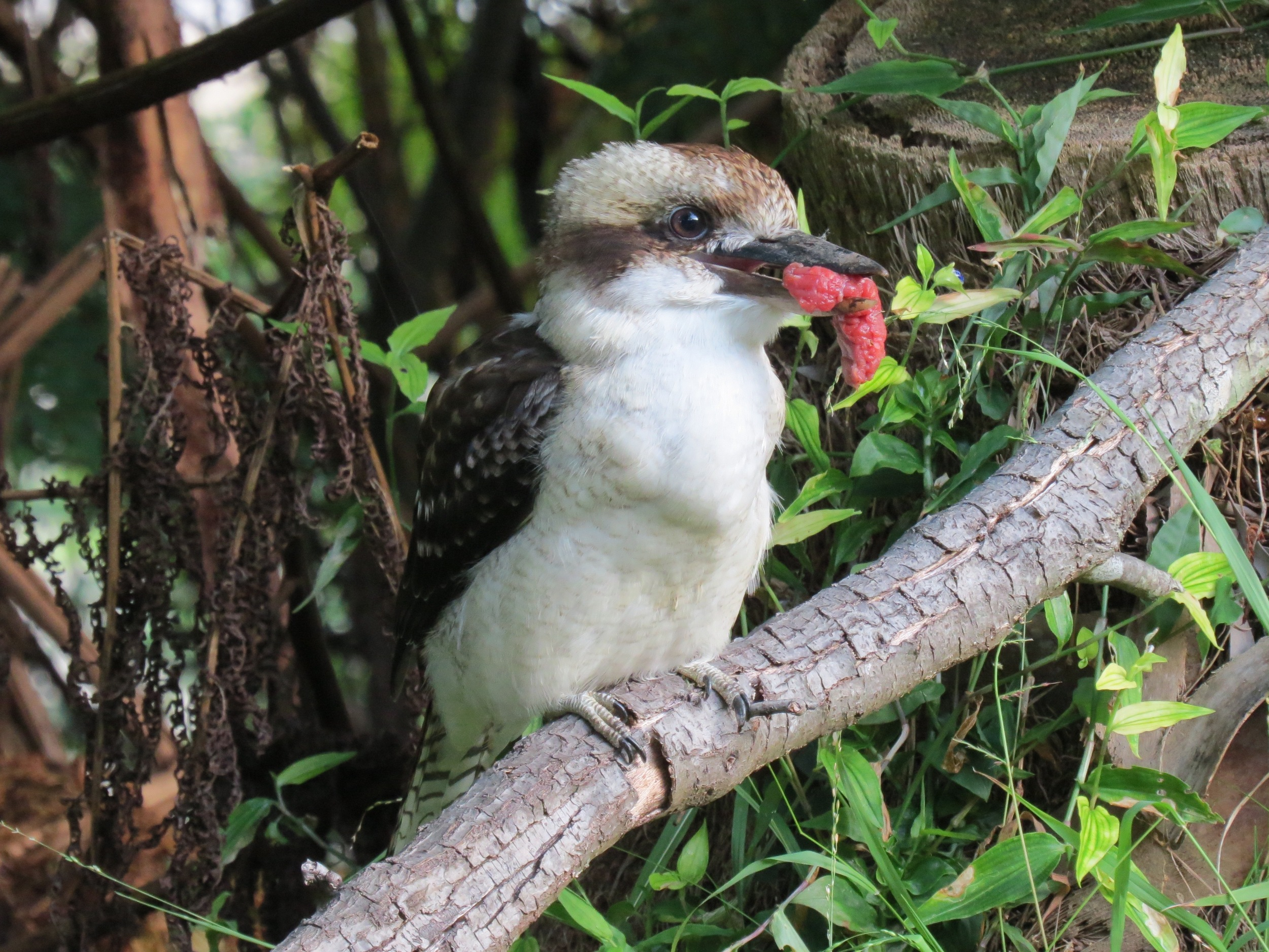 Laughing Kookaburra with Meat