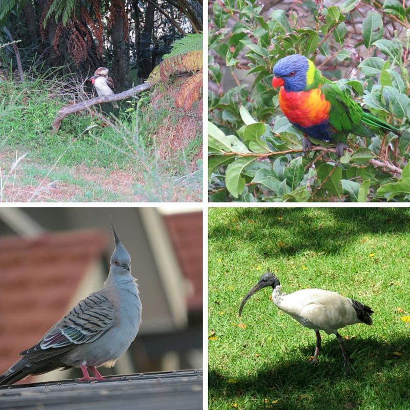 Top Left: Laughing Kookkaburra, Top Right: Rainbow Lorikeet Bottom Left: Australian Crested Dove, Bottom Right: Australian White Ibis