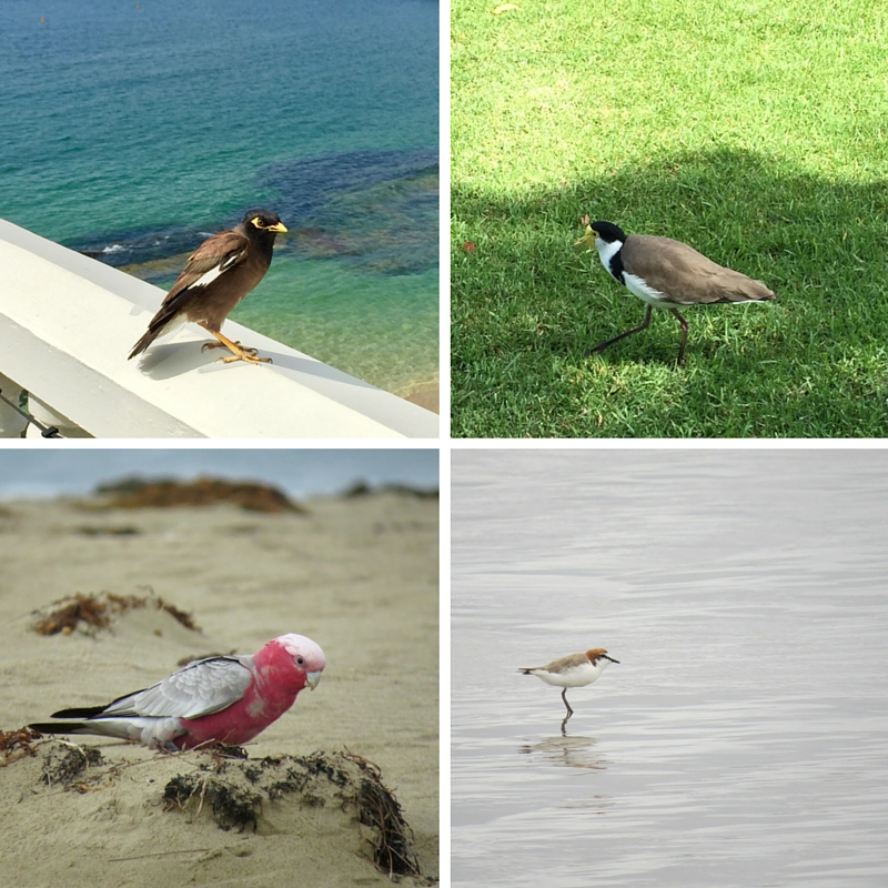 Top Left: Indian Myna Bird, Top Right: Masked Lapwing Bottom Left: Galah, Bottom Right: Sandpiper