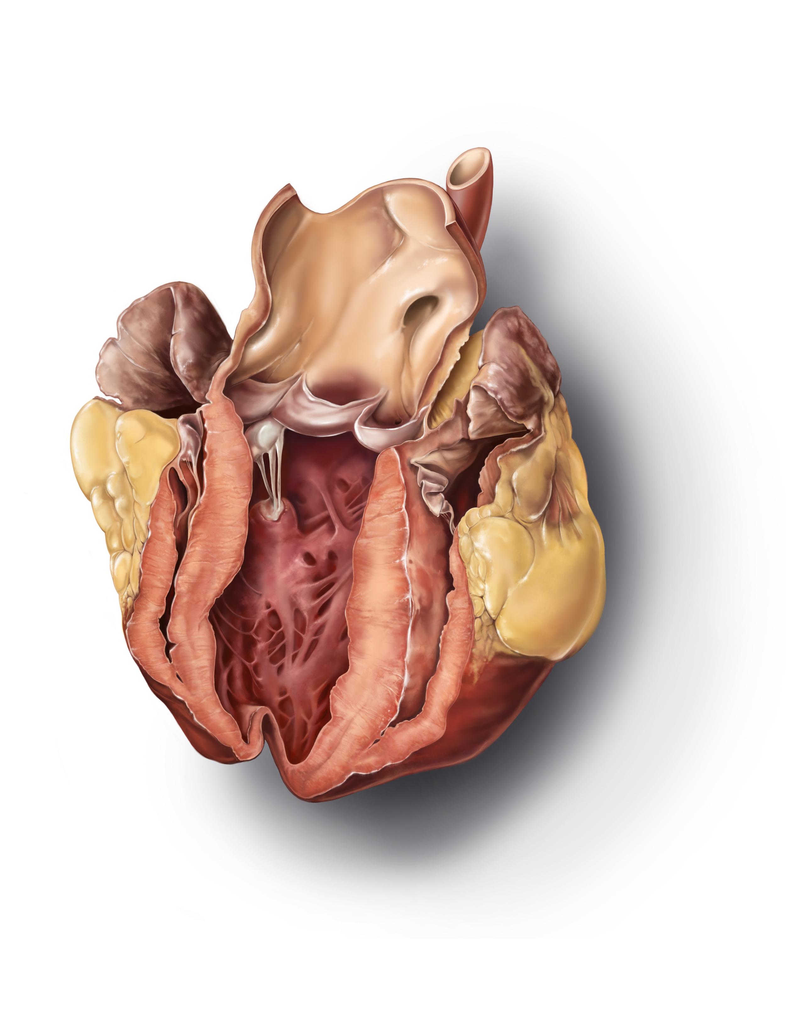 Sheep Heart Detail