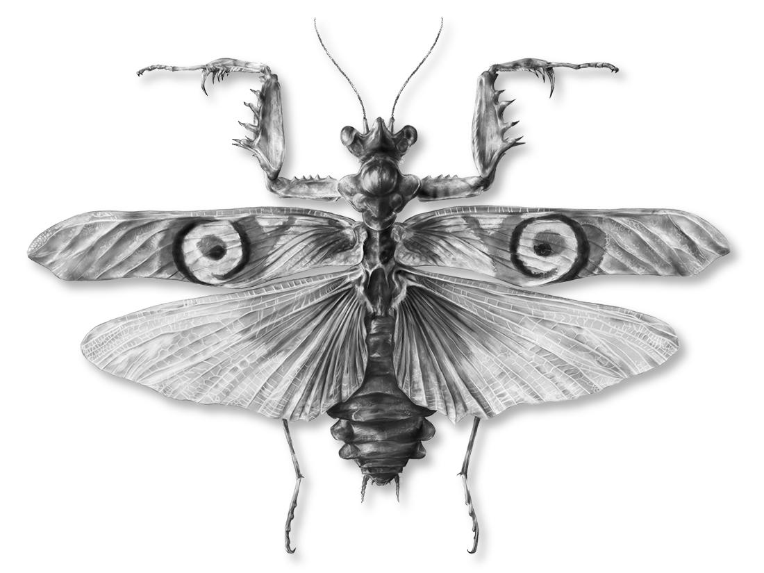 Pseudocreobotra ocellata: Detail