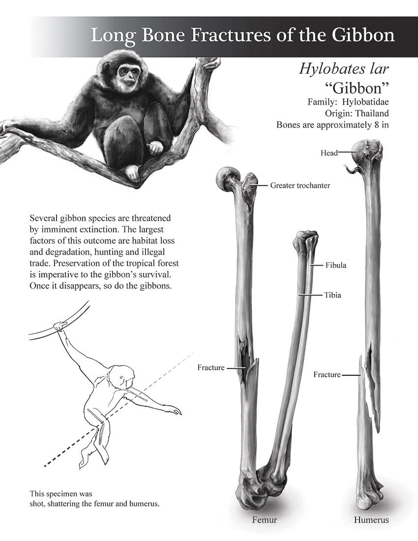 Anthropology Plate of the Gibbon Long Bone