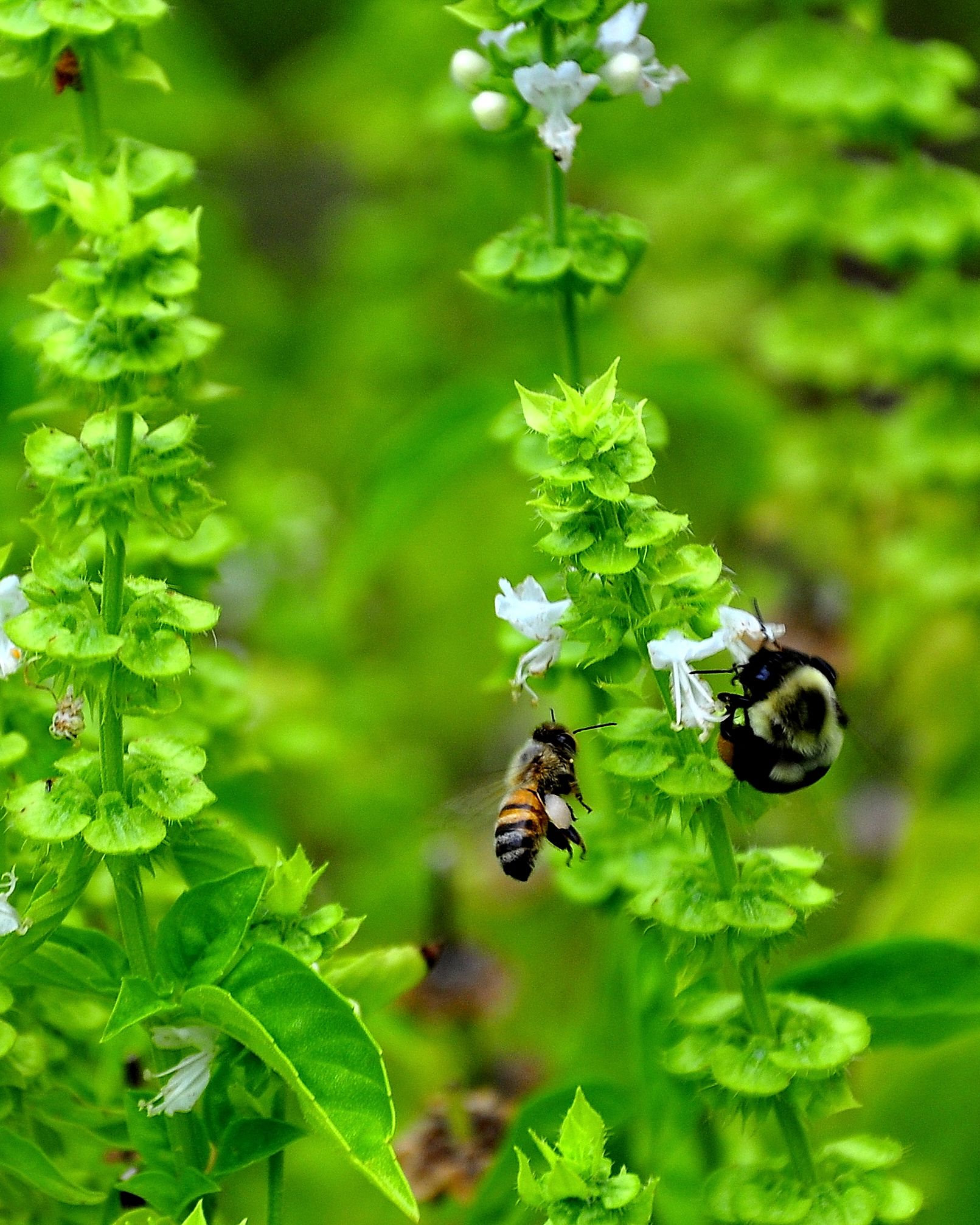 Bees in Basil