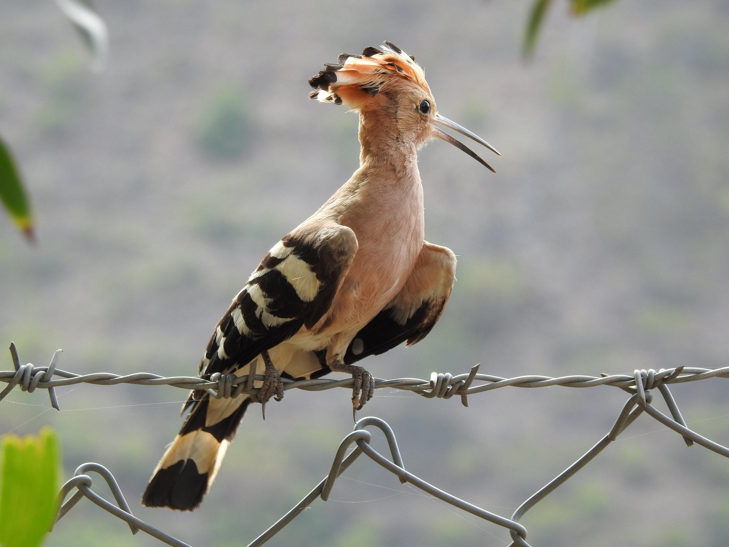 Hoopoe in Punikha