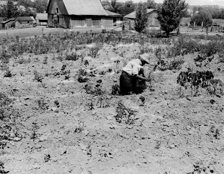 Mrs. W.E. Johnson works her shriveled potato patch on the family farm north of Columbia, Mo., in July 1936. Only one-fourth of normal rainfall fell that summer, ruining crops and pastures. The heat wave accompanied a drought that covered much of the Midwest and Plains until scattered rainfall finally broke through on Aug. 28. (Courtesy  St. Louis Post-Dispatch )