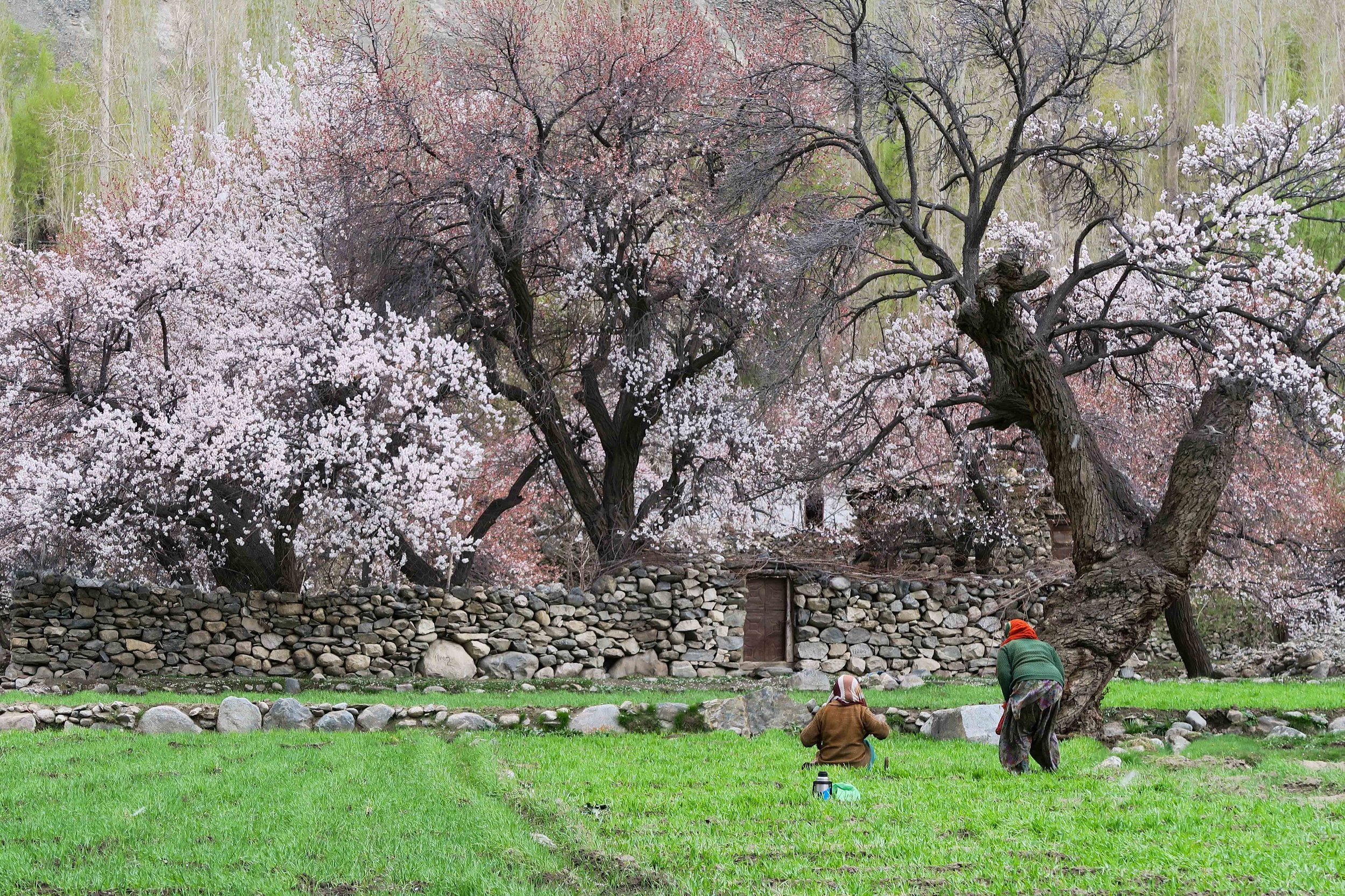 Stunning Apricot trees in blossom in Turtuk where I started my journey