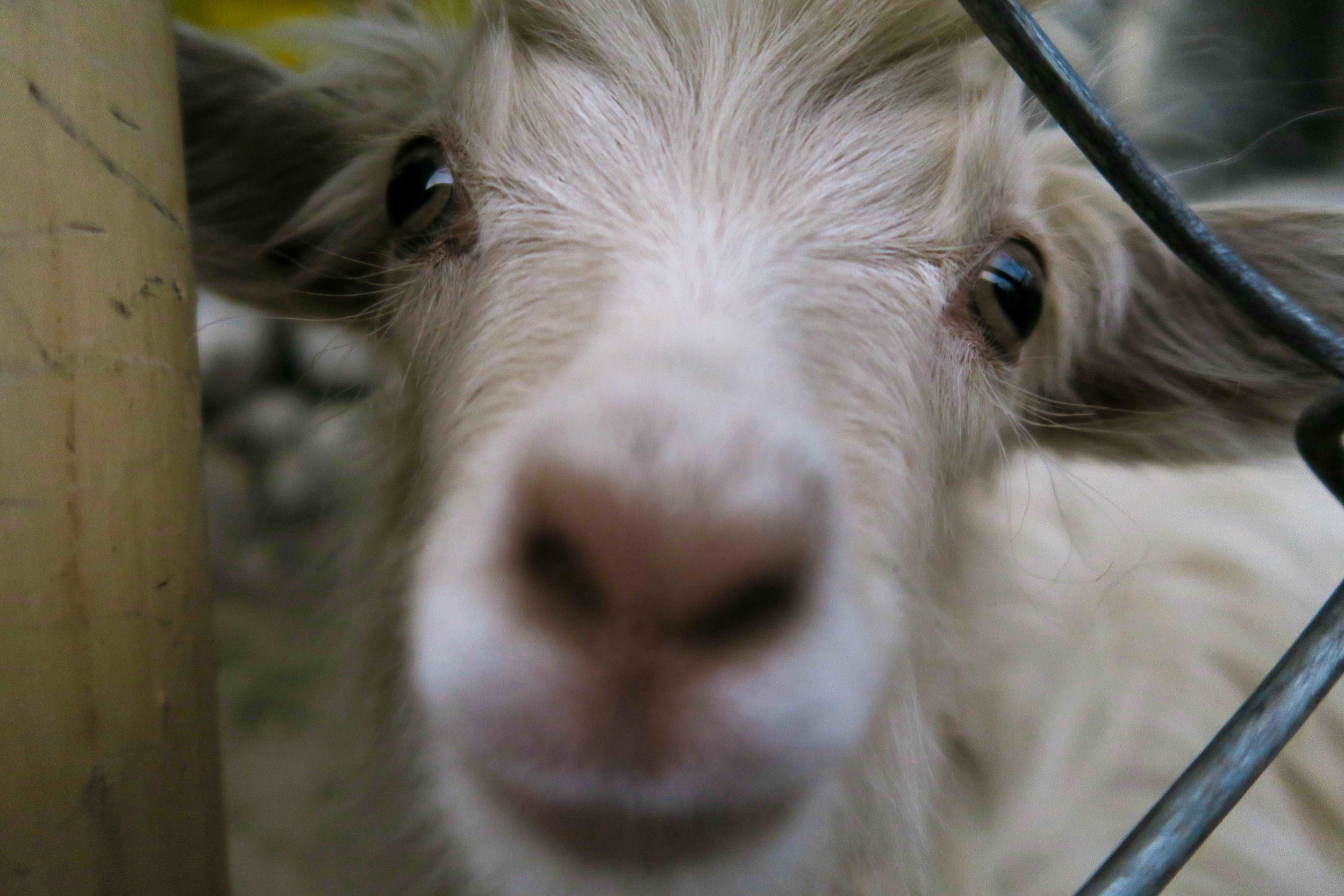 This cheeky little pashmina goat was desperate to have a sniff of me