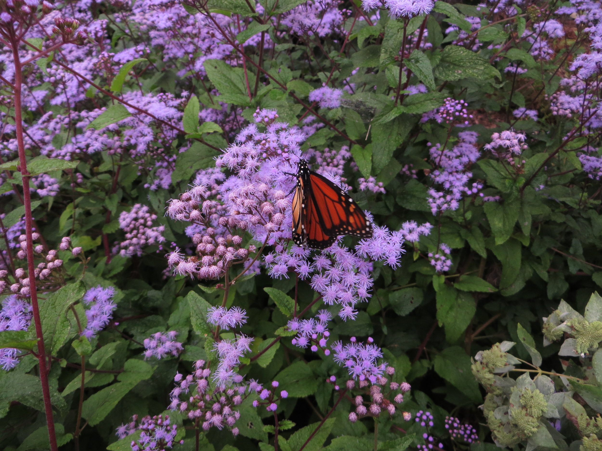 Monarch butterfly and Native mistflower