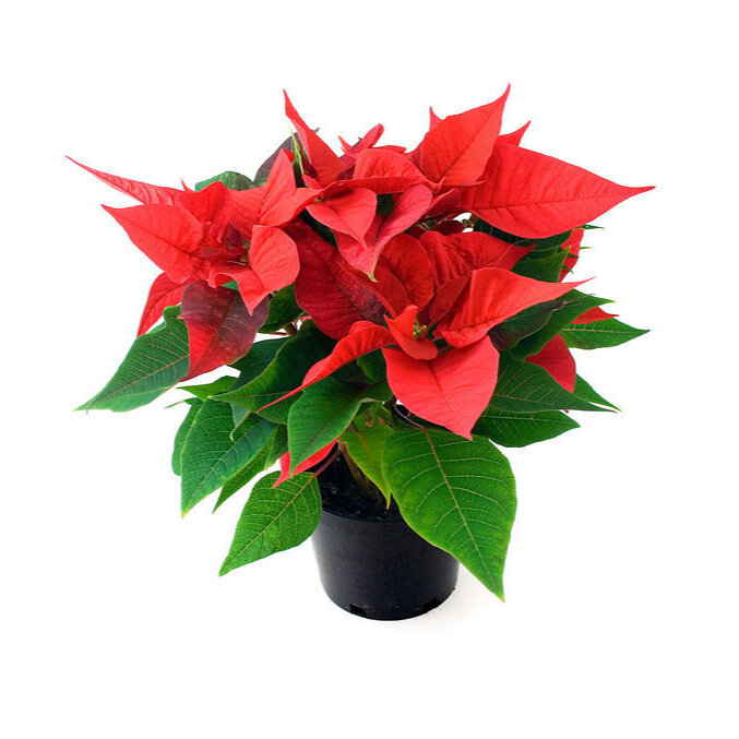 red+poinsettias.jpg