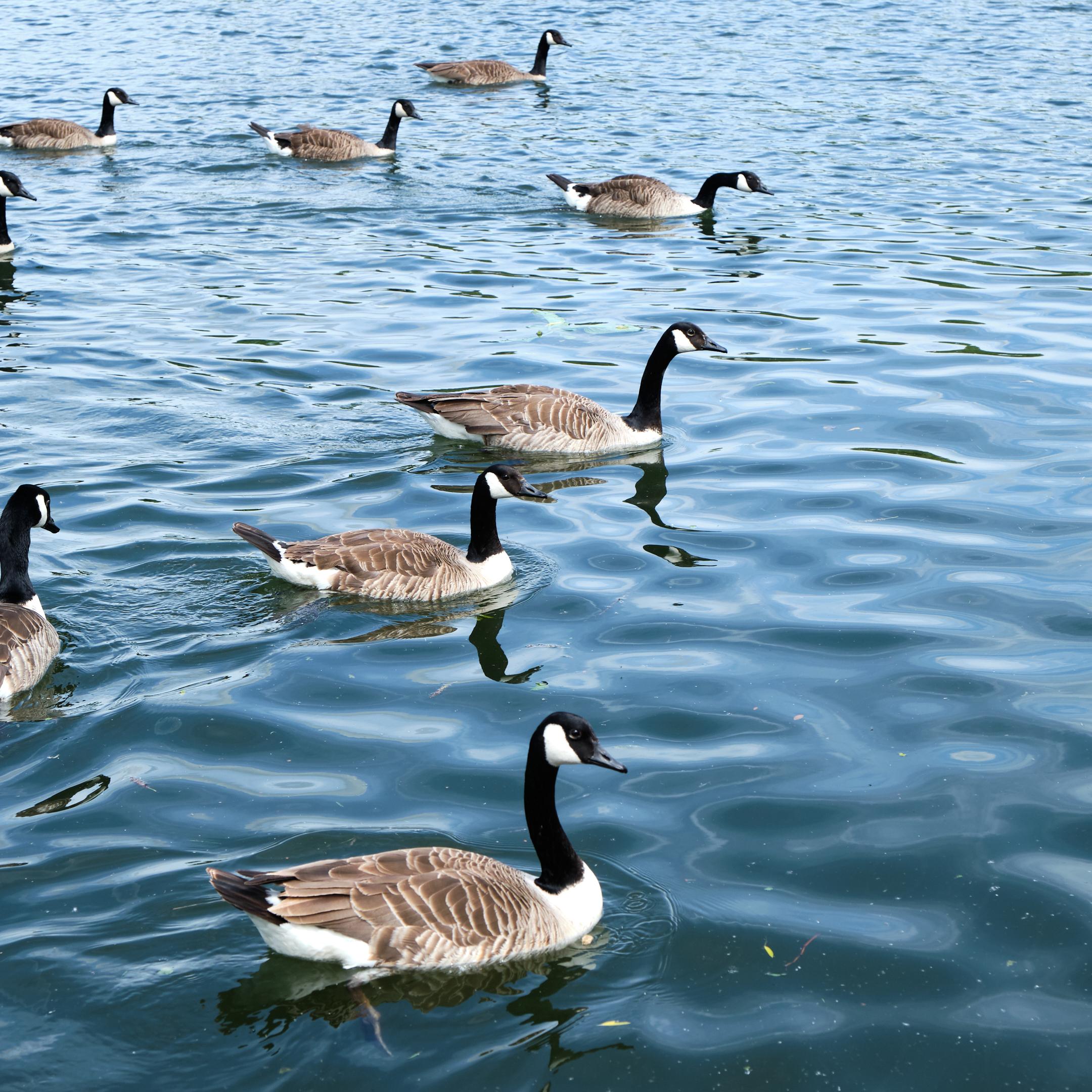 Geese__DSF7126.jpg