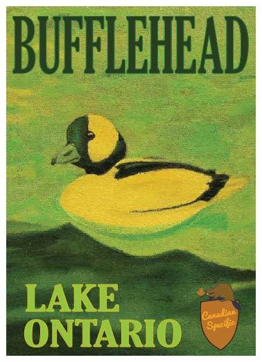 Bufflehead Lake Ontario