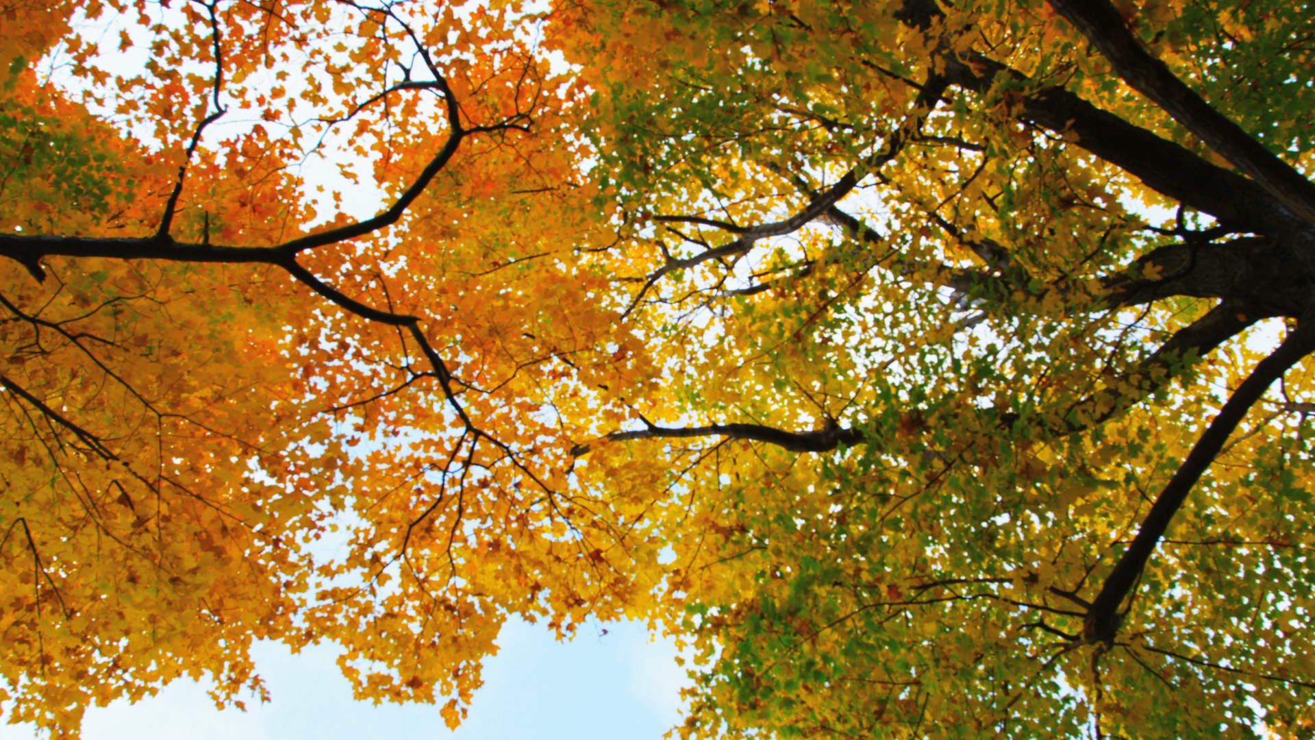 autumn-trees-view-from-below_bkyklizxh__D.mov.00_00_03_27.Still001.jpg