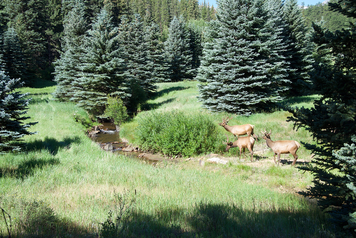 Painting plein air, three bull elks arrived, drank, and left without ever seeing me.