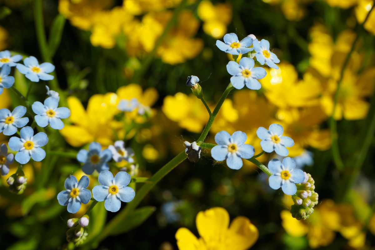 Forget-Me-Not - Biennial (Bloom in their second year then die back)Blooms Mid-Spring—-Late Summer