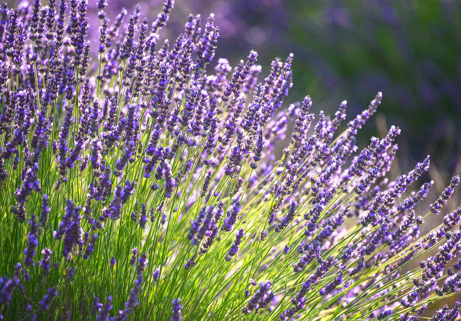 Lavender - PerennialBlooms Mid-Spring—-Mid-Summer