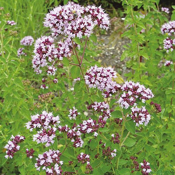 Marjoram - PerennialBlooms Early Summer—-Late Summer