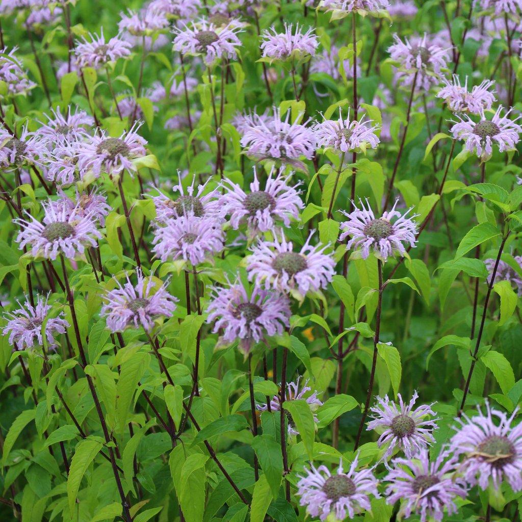Wild Bergamot (Bee Balm) - PerennialBlooms Early Summer—-Late Summer