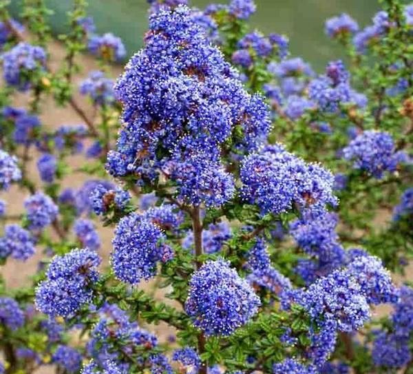 California Lilac - PerennialBlooms Mid-Spring—--Mid-Summer