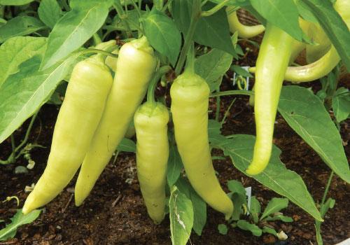 Sweet-Banana-Pepper-Seed1.jpg