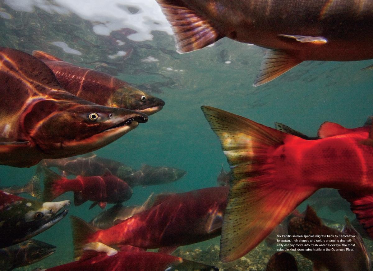 Kamchatka Salmon MM7593-2.jpg