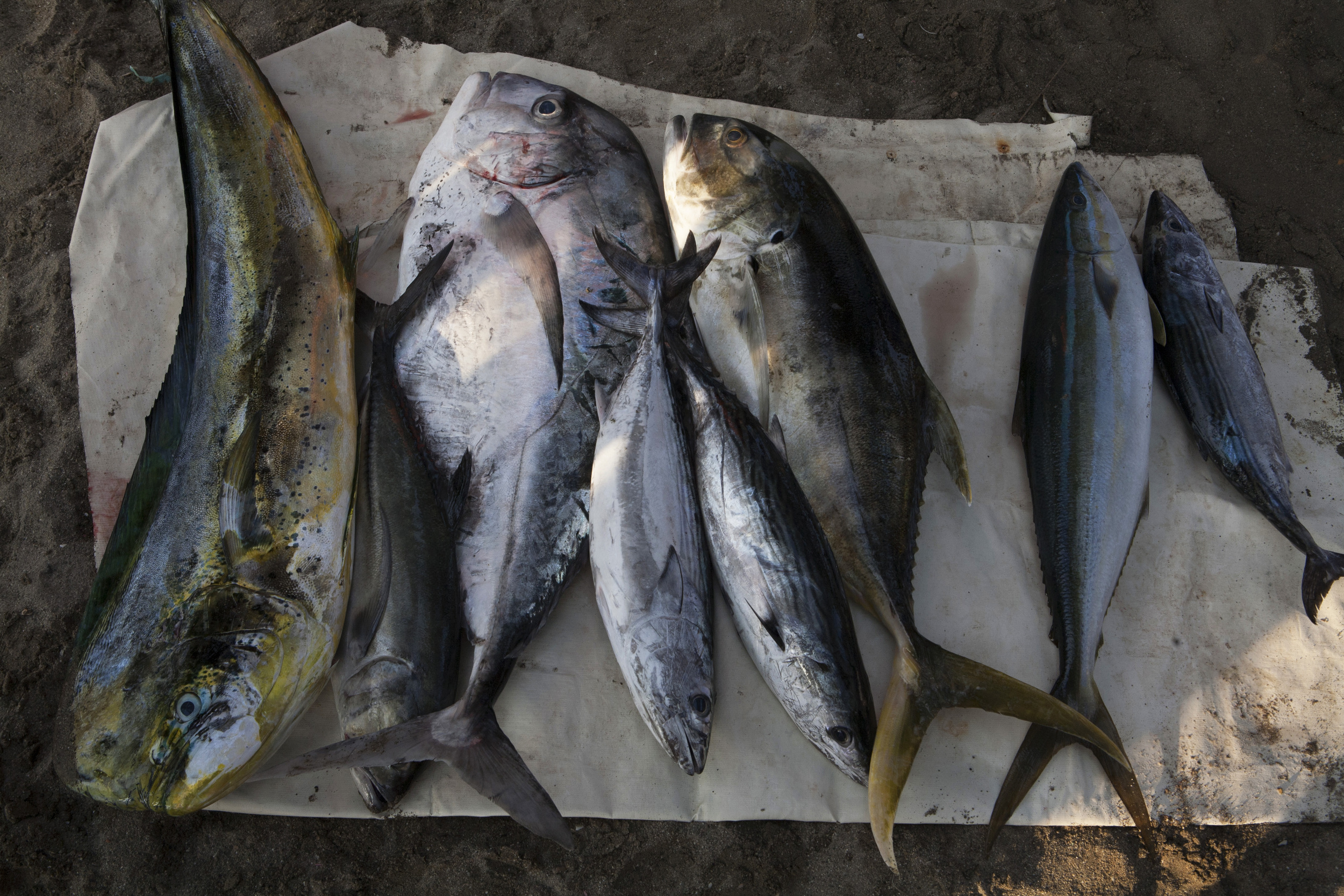 Mahi-Mahi, Bonita, Black Shipjack, Sierra, Wahoo, Tuna, are an assortment of some of the fish that are caught in the waters of Zihuatanejo. ©Gail Fisher