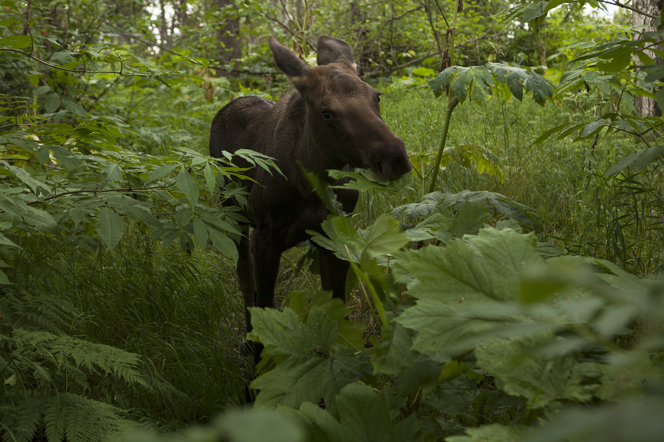 On the Tony Knowles Trail, one of the Greenbelts located in Anchorage, Alaska, a baby moose grazes near the 11 -mile bike path from Kincaid Park to Cook Inlet. © Photo by Gail Fisher