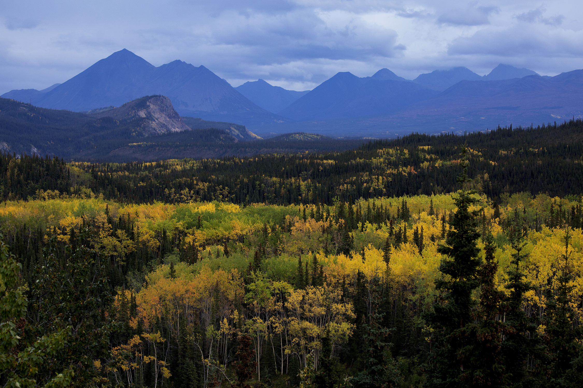 Autumn turns the leaves to a golden yellow in Alaska's Denali National Park and Preserve located just 250 miles south of the Arctic Circle. In this subarctic wilderness the short autumns burst with vibrant colors of birch and aspen. © Photo by Gail Fisher