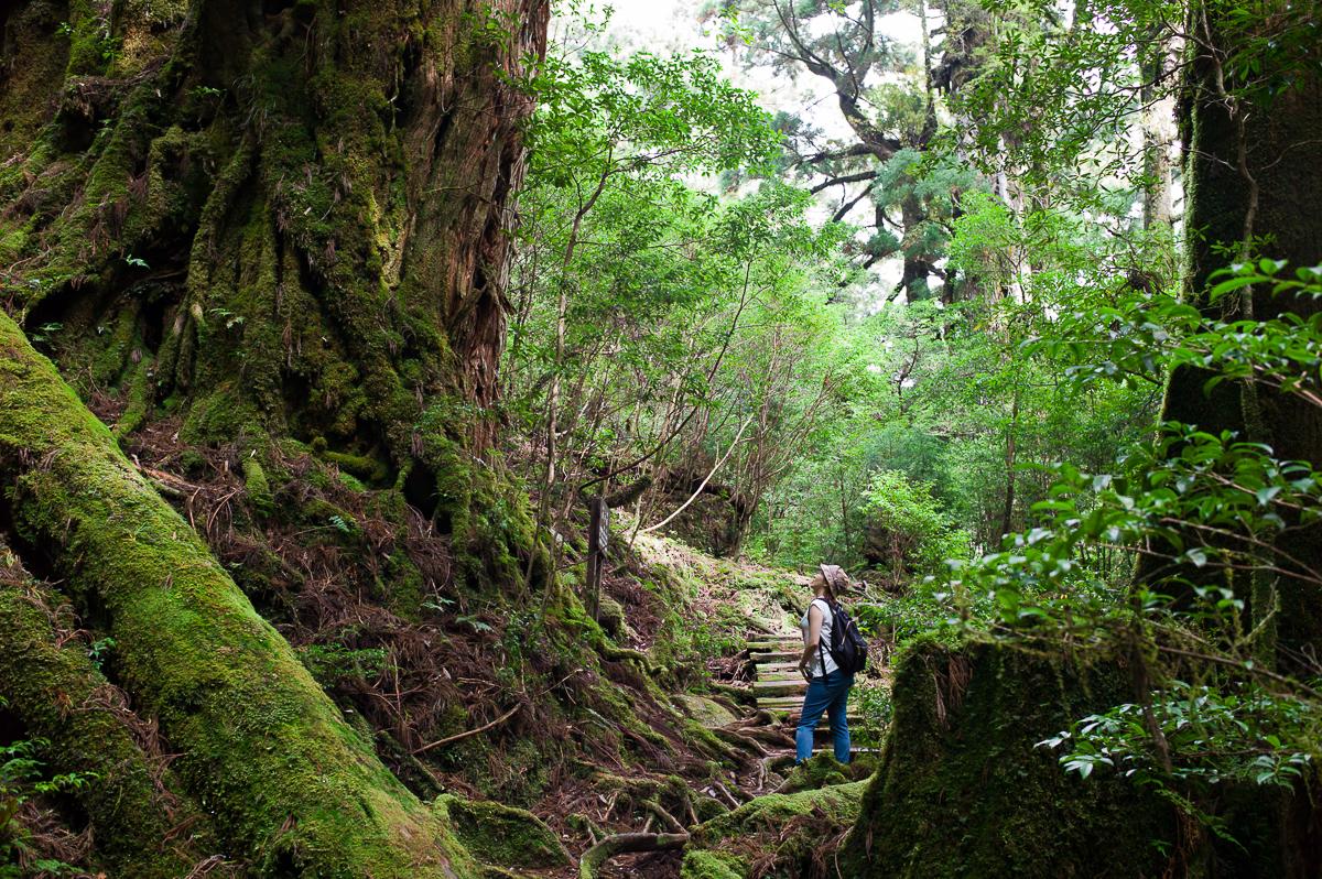One of the ancient sugi trees, Yakusugi Land