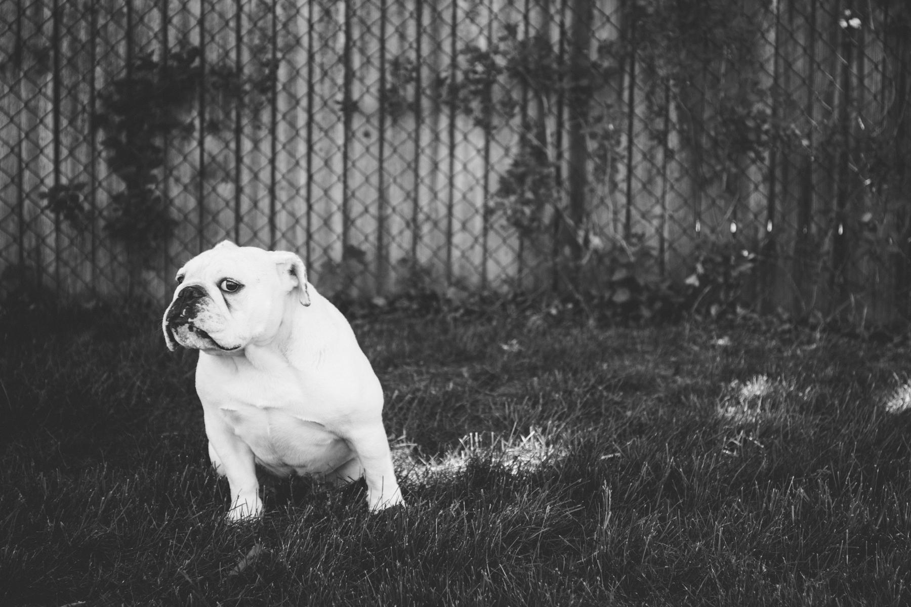 Brandon_Shafer_Photography_Zooey_EnglishBulldog_0007.jpg