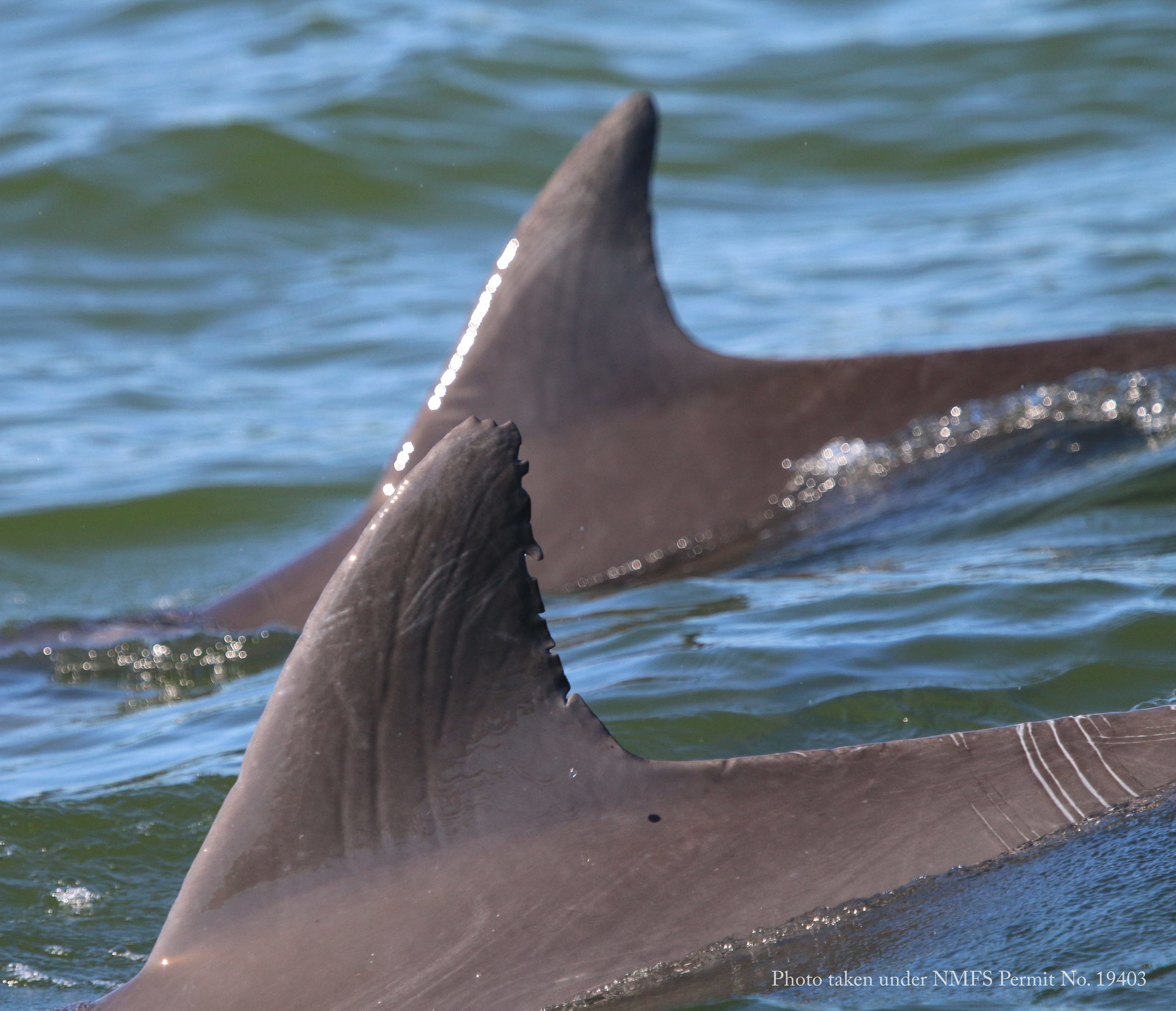 Figure 3. Two bottlenose dolphins in the Potomac River, surfacing in almost perfect synchrony.