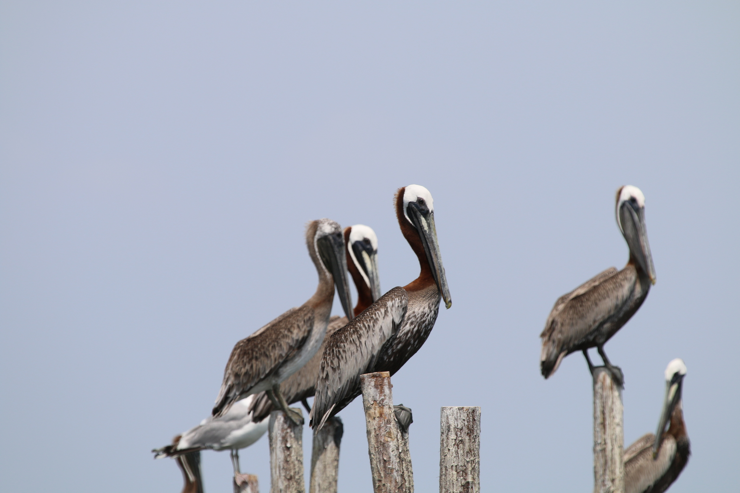 Brown pelicans ( Pelecanus occidentalis ) sitting on the posts of pound net. These tricky birds sometimes look like dolphins diving, even to the trained eye! Photo by Eric M. Patterson