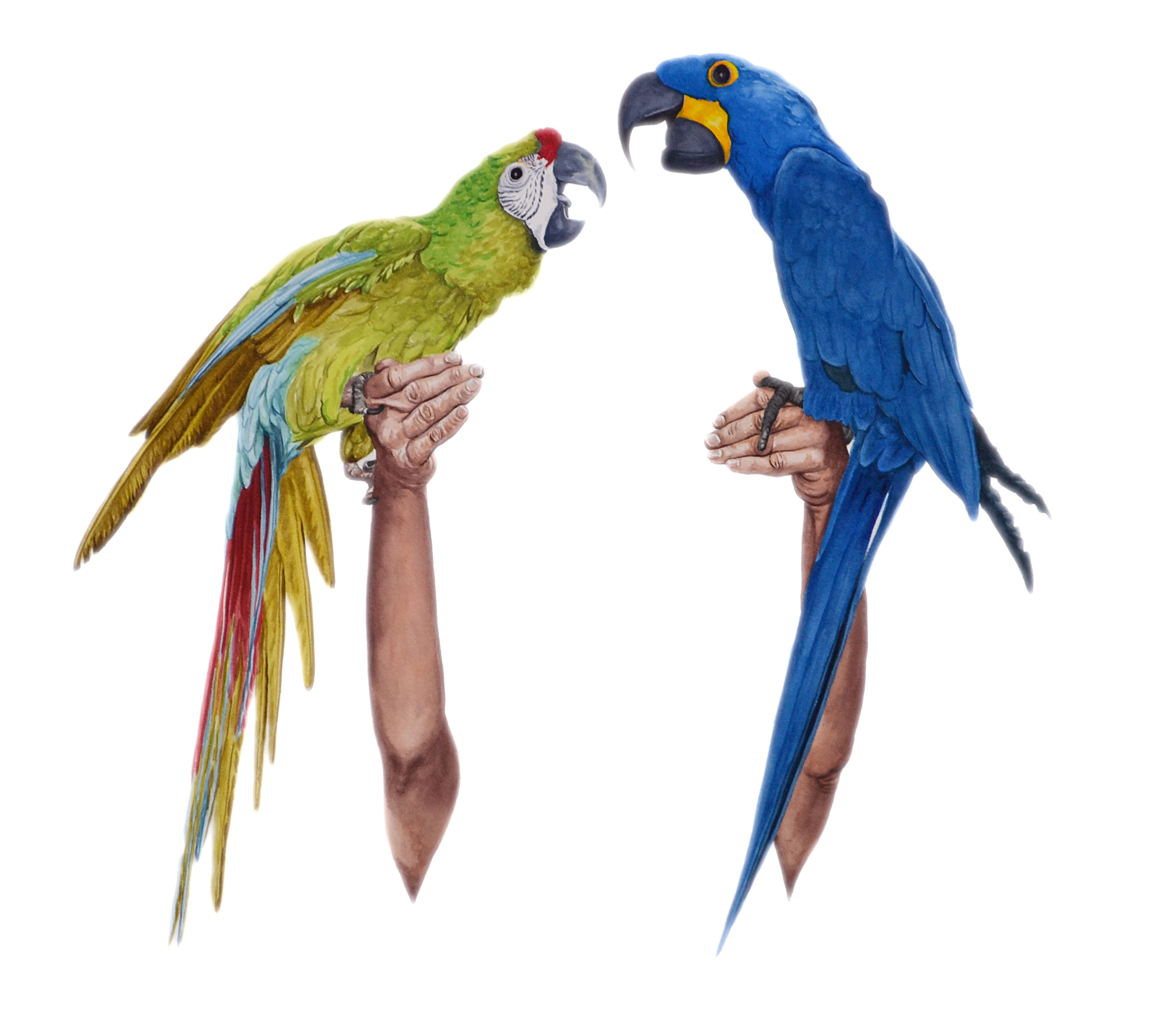 Feathers I (macaws)