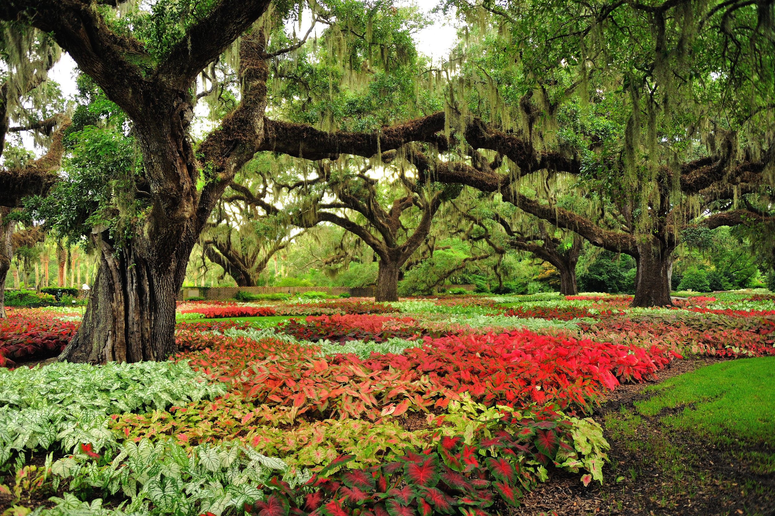 Brookgreen Gardens caladiums 2013.jpg