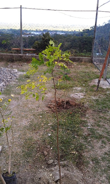 Moringa trees will provide healthy supplement in salads and nutrition for the fish