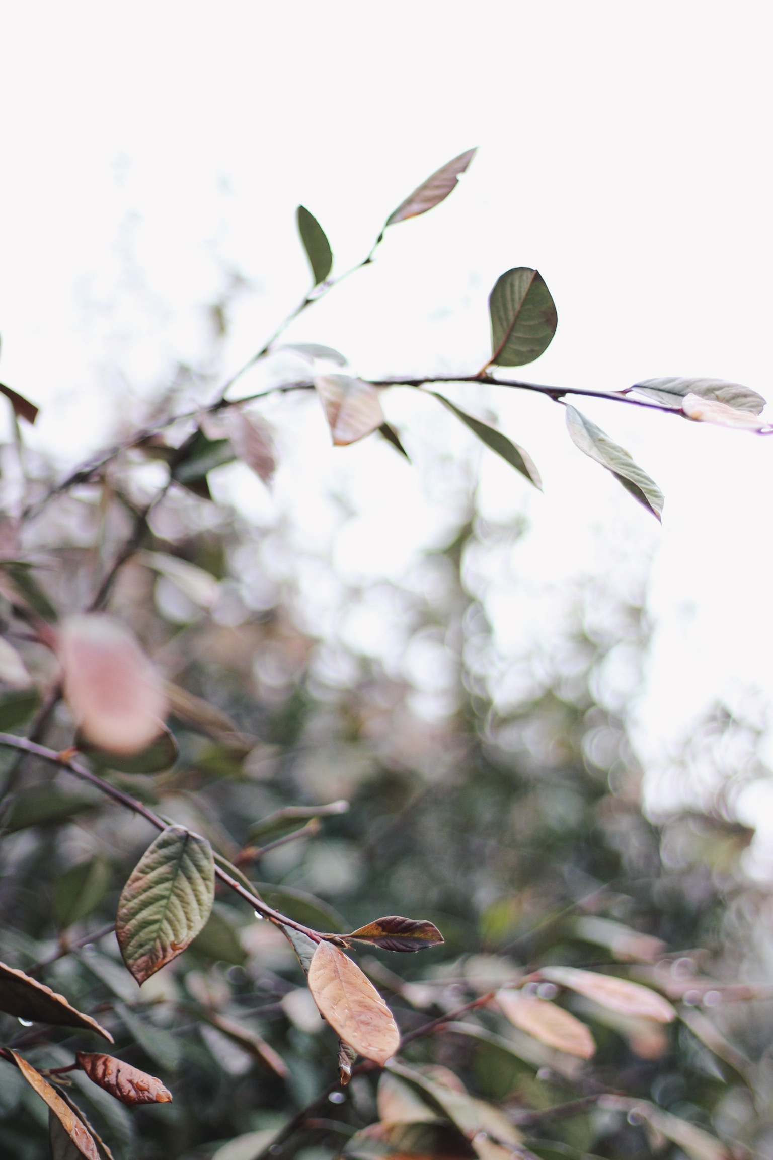 Green and pink leaves in Spring