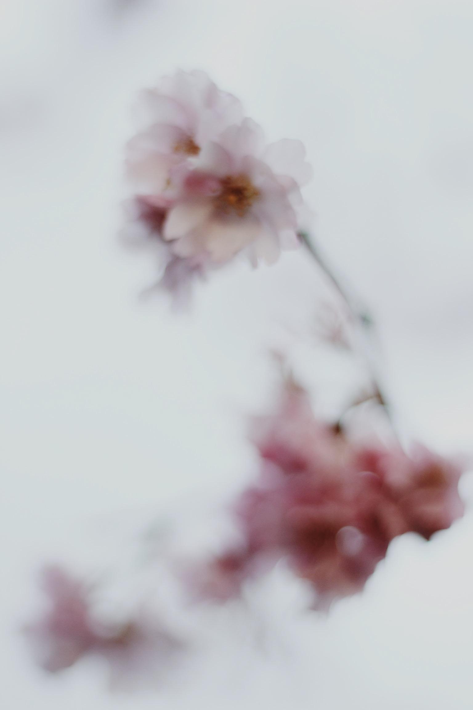 Bokeh cherry blossom