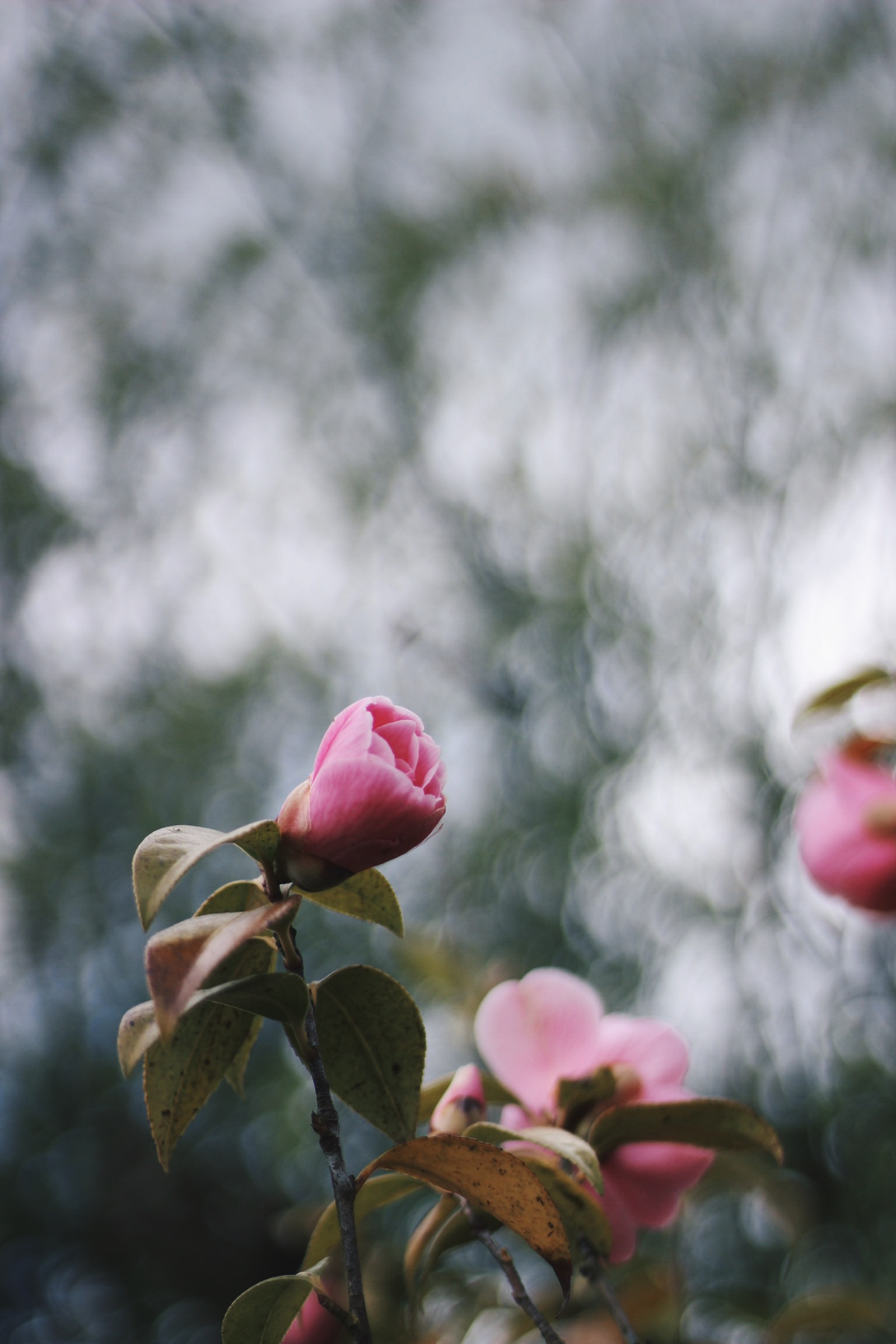 Pink flowers bokeh