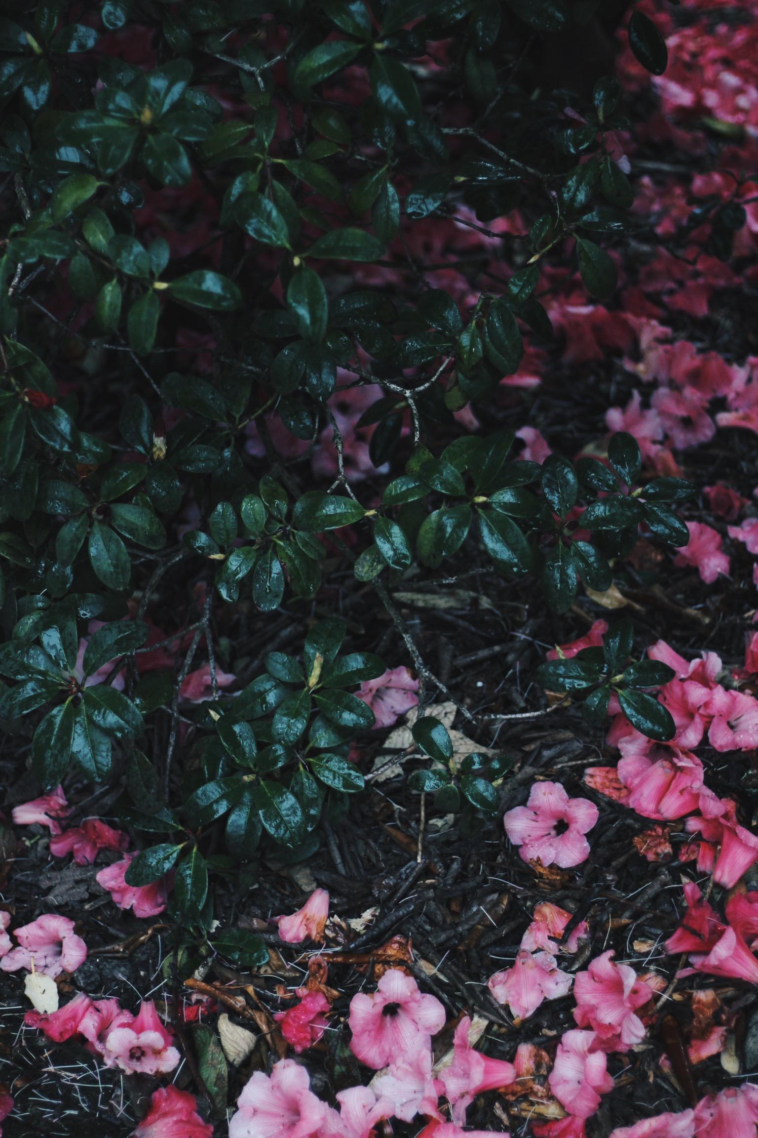 fallen pink flowers